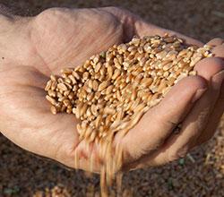 Grain-AGCO