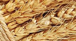 пшеница Алтая