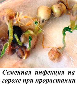 Семенная инфекция на горохе при прорастании