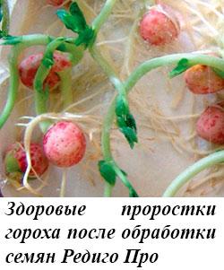 Здоровые проростки гороха после обработки семян Редиго Про