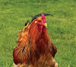 ограничение экспорта курицы и яиц