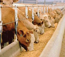 воспроизводство стада мясного направления