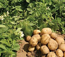 urozhaj-kartofelya-v-kemerovo