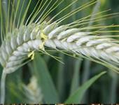 Тритикале — это гибрид пшеницы и ржи